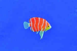 Eshopps Peppermint Angelfish Floating Aquarium Ornament